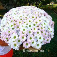 51 Chamomile Chrysanthemum - Photo 1