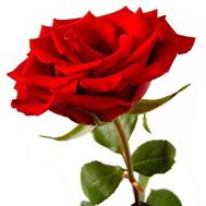 """Week of roses №1"" in the online flower shop roza.od.ua"