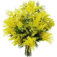 11 branches of mimosa - flowers and bouquets on roza.od.ua