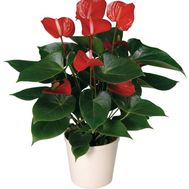 Anthurium - flowers and bouquets on roza.od.ua