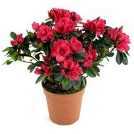"""Azalea"" in the online flower shop roza.od.ua"