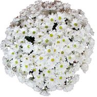 Bouquet of 25 chamomiles - flowers and bouquets on roza.od.ua