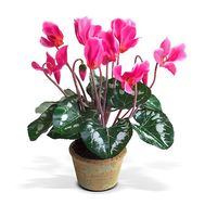 Cyclamen - flowers and bouquets on roza.od.ua