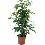 """Ficus"" in the online flower shop roza.od.ua"