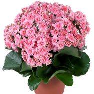 Каланхое - цветы и букеты на roza.od.ua