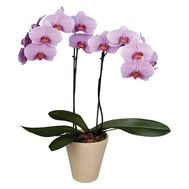 Phalaenopsis pink with 2 branches - flowers and bouquets on roza.od.ua