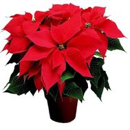 Poinsettia - flowers and bouquets on roza.od.ua