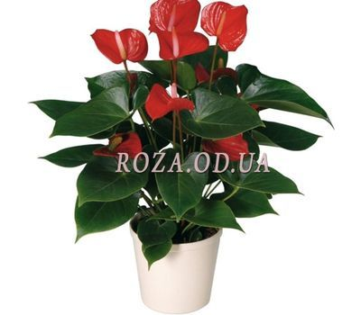 """Anthurium"" in the online flower shop roza.od.ua"