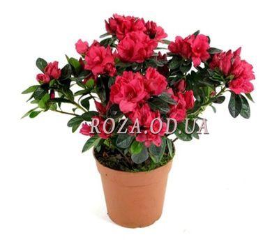 """""""Azalea"""" in the online flower shop roza.od.ua"""