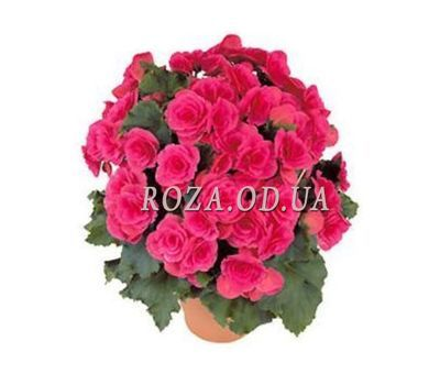 """Begonia"" in the online flower shop roza.od.ua"