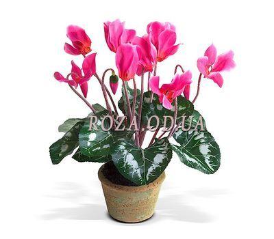 """""""Cyclamen"""" in the online flower shop roza.od.ua"""