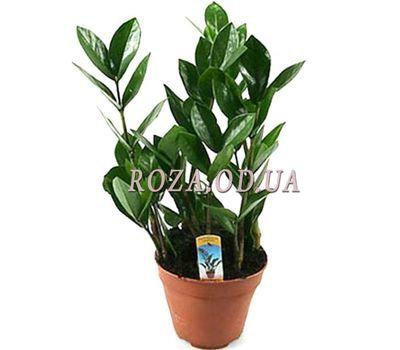 """""""Zamiokulkas (dollar tree)"""" in the online flower shop roza.od.ua"""