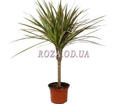 """Dracaena"" in the online flower shop roza.od.ua"
