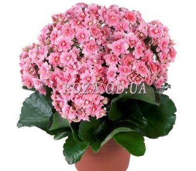 """Kalanchoe"" in the online flower shop roza.od.ua"