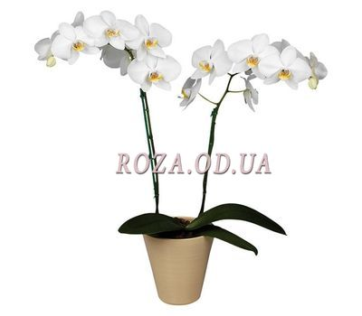 """Orchid (2 branches)"" in the online flower shop roza.od.ua"