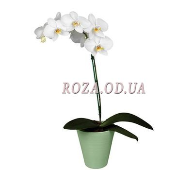 """""""Phalaenopsis white orchid with 1 branch"""" in the online flower shop roza.od.ua"""