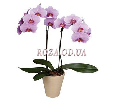 """Phalaenopsis pink with 2 branches"" in the online flower shop roza.od.ua"