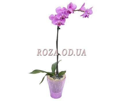 """Orchid pink (1 branch)"" in the online flower shop roza.od.ua"