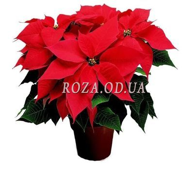 """Poinsettia"" in the online flower shop roza.od.ua"