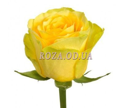 """""""Quantity you choose"""" in the online flower shop roza.od.ua"""